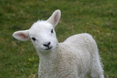 dav-lamb