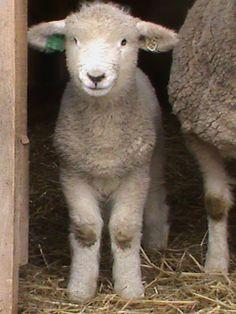lor-lamb