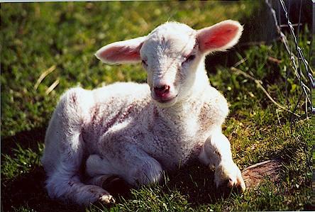 ls-lamb